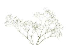 Gypsophila Flowers Isolated On White Background