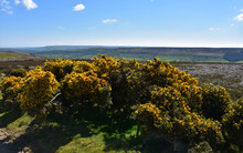 Stunning Rural Landscape With Flowering Gorse Bushes