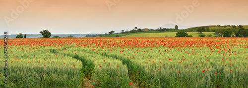 Foto auf Leinwand Mohn spectacular Tuscany spring landscape with red poppies in a green wheat field, near Monteroni d'Arbia, (Siena) Tuscany. Italy, Europe.