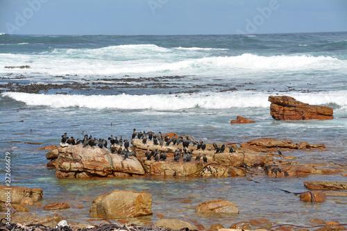 Fototapeta  Kormorane am Kap der guten Hoffnung Südafrika