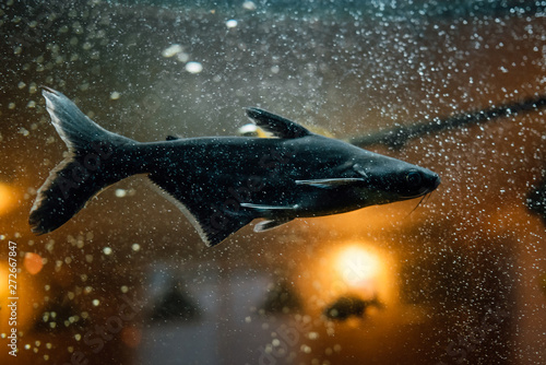 Tropical fish swims in the water of the aquarium. Beautiful background of the underwater world.