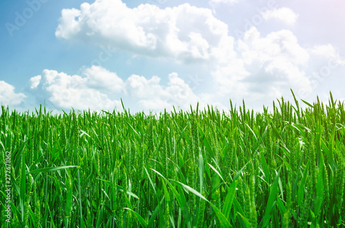 Young green wheat in a field on a background blue sky. Agricultural concept