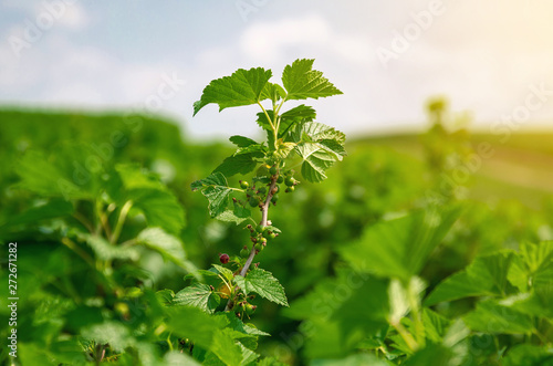 Black currant branch with green leaves
