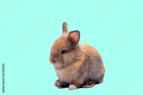Fototapeta Baby cute rabbits has a pointed ears, brown fur and sparkling eyes, on green Isolated background, to Easter festival and holidays concept. obraz na płótnie