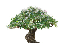 Japanese Bonsai Tree Plant With Variegated Leaves Isolated On White Background, Clipping Path Included.