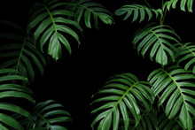 Dark Green Leaves Of Native Mo...