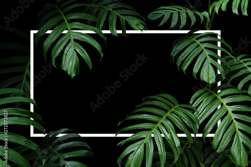 tropical leaves nature frame layout of dark green leaf native monstera the forest plant with white frame on black background buy this stock photo and explore similar images at adobe stock tropical leaves nature frame layout of