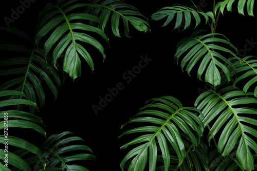 Photo  Dark green leaves of native Monstera the tropical forest plant evergreen vines, nature leaf frame on black background