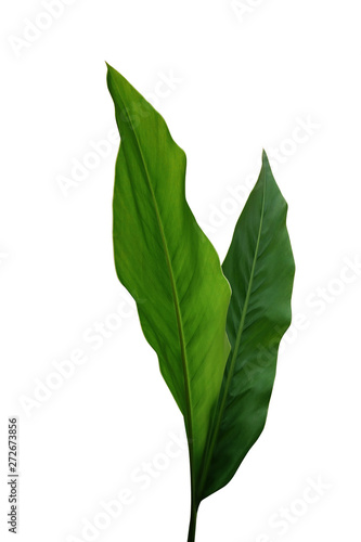 Photo Green leaves of Galangal, tropical ginger medicinal herbal plant isolated on white background with clipping path