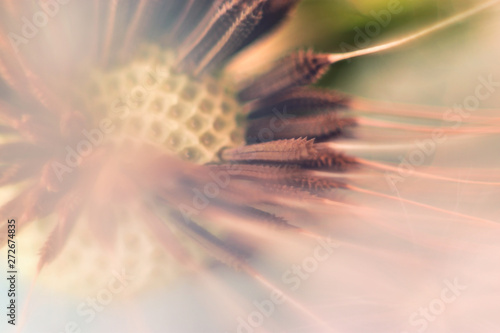 Poster Paardenbloem Dandelion. Dandelion seeds close up. Soft focus