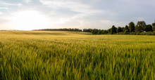 Beautiful Crop Field. Summer Sunset Panorama Around