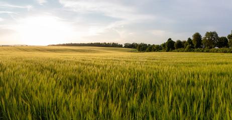 Beautiful crop field. summer sunset panorama around