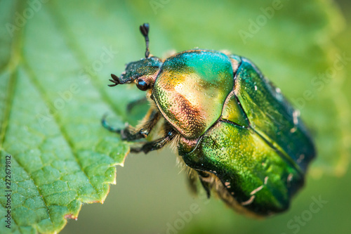 Foto Cetonia aurata, called the rose chafer or the green rose chafer