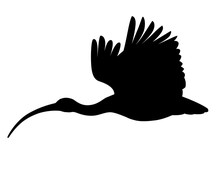 Black Silhouette American White Ibis Flying Flapping His Wings Flat Vector Illustration Cartoon Animal Design White Bird With Red Beak On White Background Side View