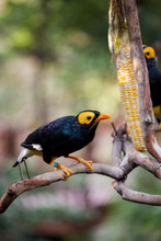 Yellow Faced Myna Eating Corn ...