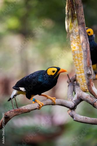 Foto Yellow faced myna eating corn cob at aviary