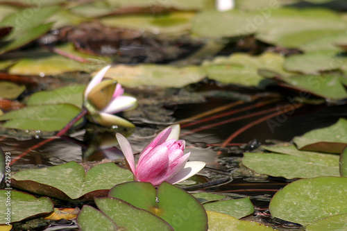 Water lily in the garden, Cannes, France Canvas Print