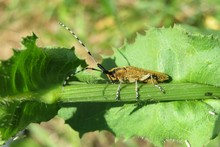 Barbel Beetle On Plant