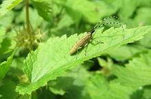 Barbel Beetle On Leaf