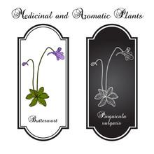 Butterwort Pinguicula Vulgaris , Medicinal Plant