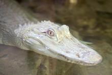 Kopf Eines Weissen Alligators Schaut Aus Dem Wasser
