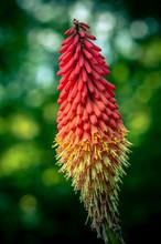 Redhot Poker Flower Blossom, C...