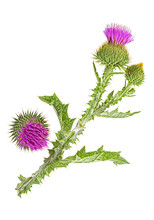 Thistle Flower And Bud Isolated On White Background, Top View.