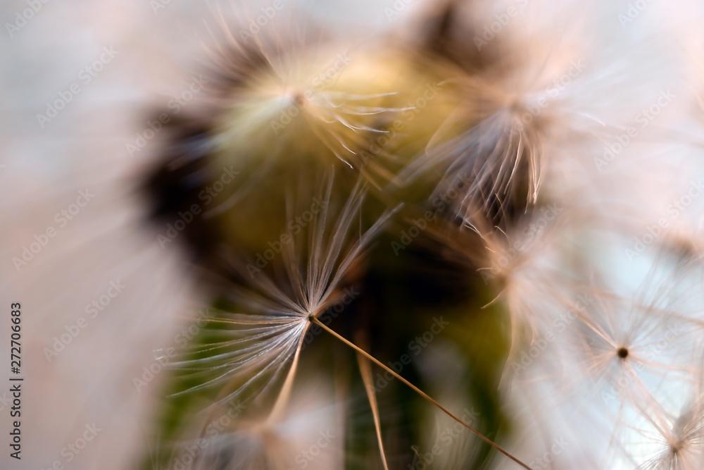 Fototapety, obrazy: Dandelion.  Dandelion seeds close up. Soft focus