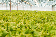 Green Cabbage Grows In The Greenhouse. The Big Light Greenhouse With A Large Amount Of Lettuce.
