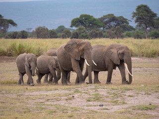 Elephants roaming in Amboseli National Park, Kenya