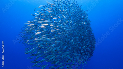 Photo  Bait ball in coral reef of Caribbean Sea around Curacao at dive site Playa Piska