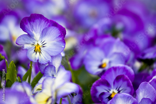 Poster Pansies Floral natural pattern representing a flowerbed of purple and lilac pansy in bloom