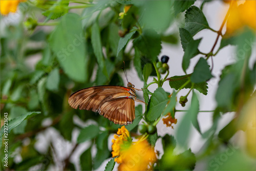 Julia Longwing Butterfly on Leaves and Flowers