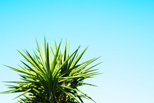 Blue Sky Background With Agave Cactus Plant.
