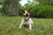 Adorable Jack Russell Terrier ...