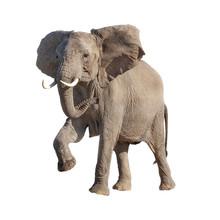 African Elephant Raising Leg Isolated