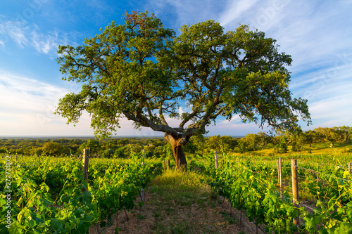 Cork oak and Vineyard, Concelho de Grandola, Alentejo, Portugal, Europe Wallpaper Mural