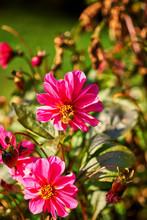 Close Up Of A Pink-peach Dahli...