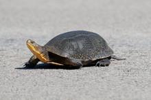 Endangered Blandings Turtle