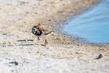 Ruddy Turnstone Searching For ...
