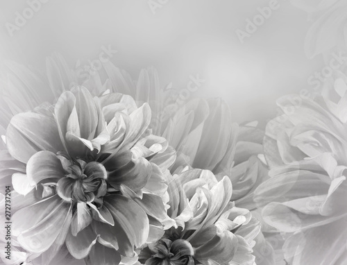 Poster de jardin Dahlia Floral vintage white-black beautiful background. Red dahlias and petals flowers. Close-up. Nature.