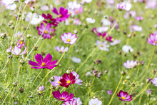 Spring Garden With Pink And White Mexican Aster Flowers. Natural Floral Background