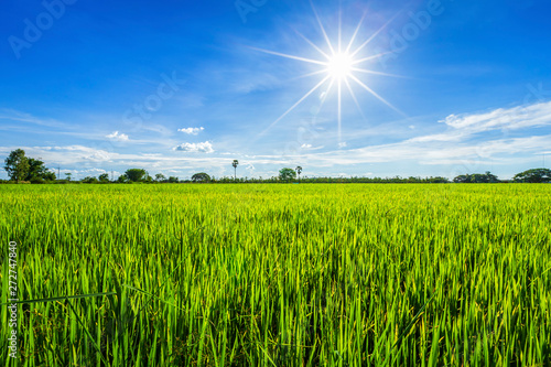 Canvas Prints Meadow Beautiful green cornfield with fluffy clouds sky background.