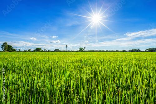 Foto auf AluDibond Wiesen / Sumpfe Beautiful green cornfield with fluffy clouds sky background.