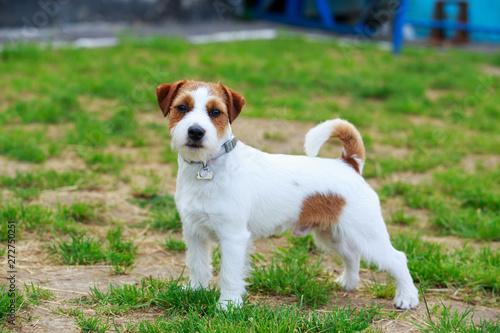 Obraz na plátně Jack Russell Terrier dog