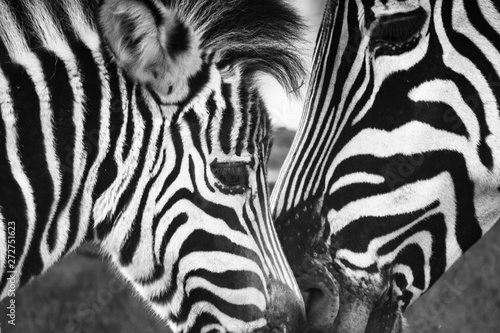 Photo sur Toile Zebra love and care between mother and child zebra