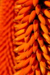 canvas print picture - Close up of the orange red flowers on erect inflorescences of the Aloe ferox, indigenous to the southern part of South Africa.