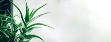 Tropical Aloe Banner With Copy Space. Green Aloe Vera Plants. Nature Farm Garden For Cosmetics Ingredient. Herbal Medicine For Skin Treatment And Care