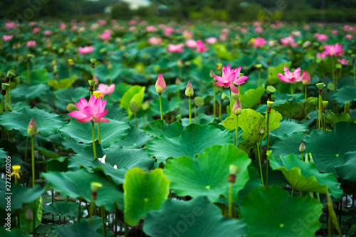 Foto op Plexiglas Groene Beauty fresh pink lotus in middle pond, the background is leaf, bud, lotus and lotus filed. peace scene in Mekong delta, Vietnam. High quality stock image. Countryside.