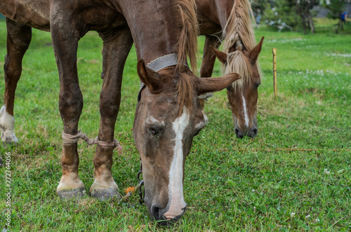 Canvas Prints Horses Horse grazes on the field and eats grass